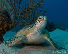 Green Sea Turtle St. Croix, US Virgin Islands
