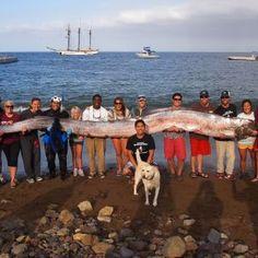 Sensationsfund: Riesiger Riemenfisch vor Kaliforniens Küste entdeckt - SPIEGEL ONLINE