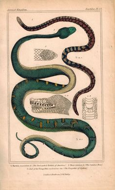 Tortrix and Boa Snakes 1834 Engraved Cuvier Reptile Print Plate 25
