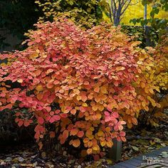 A Southeastern native, Fothergilla has a lot to offer for modern landscapes. Growing just 1 to 4 feet tall and 2 to 4 feet wide, this compact shrub can be tucked into a perennial border or a narrow foundation planting. It prefers rich, slightly moist, acidic soil and a sunny to partially sunny location. It's prized for its white, bottlebrushlike spikes of fragrant spring flowers and spectacular fall foliage. Zones 5-8 Seasonal Highlights: Fall: Leaves turn shades of red, orange, and…