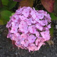 Hydrangea serrata Preciosa - RoyalPlant.ro