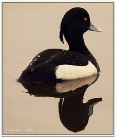 The Tufted Duck (Aythya fuligula) is a medium-sized diving duck with a population of close to one million birds. The Tufted Duck breeds widely throughout temperate and northern Eurasia. It occasionally can be found as a winter visitor along both coasts of the United States and Canada.