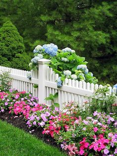 Petunia Bed against a White Picket Fence, complete with Blue Hydrangea...looks so Nantucket