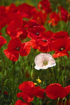 One white poppy in a field of red poppies, - Worthing, West Sussex, UK Beautiful Flowers Garden, Flowers Nature, Amazing Flowers, Pretty Flowers, Red Poppies, Yellow Flowers, Poppy Field Painting, Flower Pots, Gardens