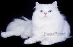 white blue eyed doll faced cat - Google Search