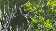Birds (Avis) ჩიტები: Sardinian warbler (Sylvia melanocephala) - სარდინიული ასპუჭაკა