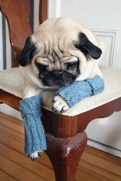 doggy leg warmers?! #pug #cute #puppy