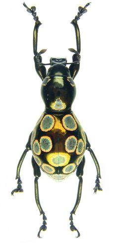 Pachyrhynchus pavonius – CURCULIONOIDEA, family BRENTIDAE Subfamily: ithycerinae