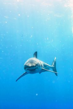 Great White Shark (by Todd Bretl) I see you Shark Pictures, Shark Photos, The Great White, Great White Shark, Animals Beautiful, Beautiful Creatures, Cool Sharks, Species Of Sharks, Underwater Animals