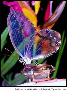 Beautiful transparent wing – This butterfly's wings are clear that you can see colors through it. The wonders of nature.
