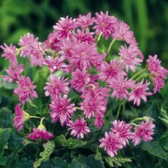 Geranium Plant - Southcombe Double - Suttons Seeds and Plants                                                                                                                                                                                 More