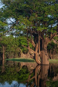 A magnificent tree growing out of the water nonetheless.  Amazonas, Brazil.