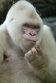 albino gorilllllilllla
