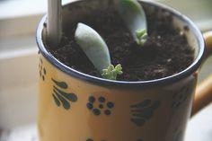 baby succulents