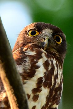 Brown Hawk-Owl by Young Sung Bae, via 500px.