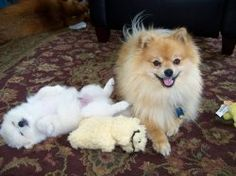 I love dogs. All of my dogs are amazing and adorable. Pomeranian puppies have to be the cutest thing on the planet!! Pomeranian dogs are like...