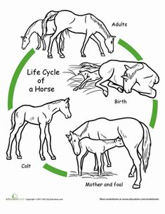 First Grade Animals Life Science Worksheets: Color the Life Cycle: Horse