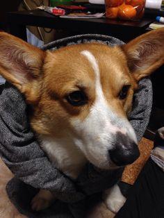 オーリーさん。 #dog #corgi