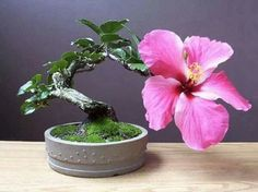 Hibiscus bonsai