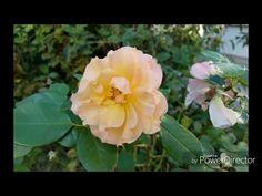 Gül dalından gül nasıl coğaltılır, gül dalı çeliklemenin en kolay yolu - YouTube Garden, Plants, Farmer