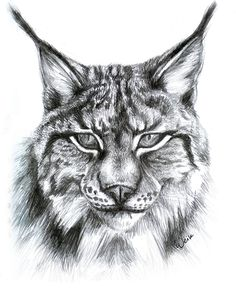 Lynx by Weiklink on DeviantArt Pencil Drawings Of Animals, Animal Sketches, Art Drawings Sketches, Drawing Animals, Big Cats Art, Cat Art, Tiger Drawing, Painting & Drawing, Tiger Art