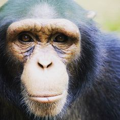 Because of your support we have helped protect 40,000 chimpanzees in the Bili-Uélé area of the Congo through the work of @africanwildlifefoundation. Thanks to Sean Brogan for the beautiful image. #indulgeinacause