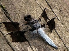 Anisozygoptera dragonfly macro insect photography