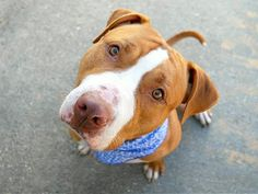 BRIGGS - A1097305 - - Manhattan  Please Share:TO BE DESTROYED 11/30/16   volunteer writes: On the day they were handing out first class manners and the stunning looks to match, our Mr. Briggs must have stood in line twice–what a guy! With a host of commands under his belt (come, sit, stay) he's got everyone at the Care Center singing his well-deserved praises to the skies. His coat shines with good health and those bright eyes don't miss a thing when we&#8