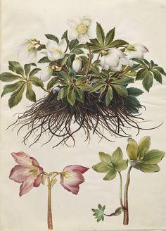 Helleborus niger, KKSgb2950/84