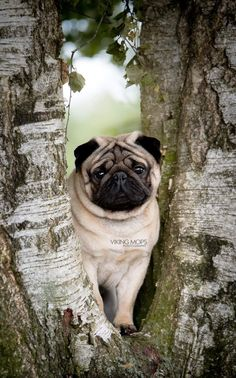 Since Join the Pugs bring the cuteness to Pug lovers all over the world. If you love Pugs. you'll love our website and social media. Cute Pug Puppies, Cute Pugs, Dogs And Puppies, Funny Pugs, Terrier Puppies, Bull Terriers, Bulldog Puppies, Doggies, Boston Terrier