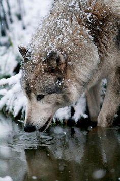 Wolf drinking water