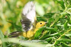 Wilsons Warbler Photo   Fall Bird Watching   Yellow Songbird   Avian Home Office…