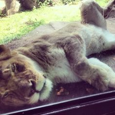 Lions at the Lincoln Park Zoo are relaxing in the shade!