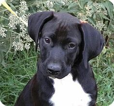 43 Best Boxane images | Boxer Mix, Great dane mix, Pet Adoption