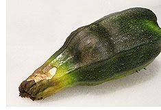 STOP SQUASH BLOSSSOM END ROT  Keep your zucchini, crookneck, and pattypans safe
