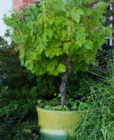 Grapes can be trained into patio trees/ this in the orchard/veggie garden. Fruit Garden, Edible Garden, Vegetable Garden, Garden Plants, Edible Plants, Garden Web, Balcony Garden, Backyard Plants, Backyard Chickens