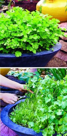 Continuous Cilantro Growing Method ~ 6. Harvest at least weekly to keep leaves coming. Using this method, it's possible to harvest four crops of cilantro from a single pot.