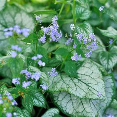 A top shade plant many gardeners have never heard of, brunnera bears beautiful clusters of sky-blue flowers in spring. Look for variegated selections such as 'Jack Frost' or 'Looking Glass' and you can enjoy its beautiful foliage straight through frost. Plant Name: Brunnera macrophylla Growing Conditions: Shade and moist, well-drained soil Size: To 2 feet tall and wide Zones: 3-7/