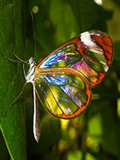 Glass-wing Butterfly~Via Diana Priestly @Jenn L Pasia