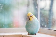 Budgie Research, SD, CA. : look at