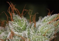 Harvest Cannabis Like A Pro One of the best things about growing your own cannabis is watching the plants move through each phase of the lifecycle . And if you've ever grown pot you know that the . Marijuana Plants, Cannabis Plant, Cannabis Oil, Weed Pictures, Edibles Online, Cannabis Growing, Buy Weed Online, Medical Cannabis, Medical Marijuana