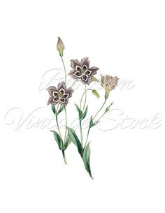 Flowers Botanical Print, Botanical Antique Flowers, Clipart, PNG, Blue Flower Digital Image for Print, Artwork - INSTANT DOWNLOAD - 1726