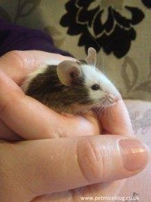 Handling a Pet Mouse
