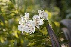 Lily of the Incas (Alstroemeria) in our bulb garden. Such a pretty flower!
