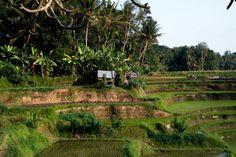 Fine Art Print  Paddy Terrace  Ubud Bali by Studio407PrintShop :: © Chelsea Mazur Photography 2012-2015 :: https://www.etsy.com/listing/235169476/fine-art-print-paddy-terrace-ubud-bali