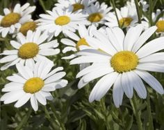 Isopäivänkakkara - Leucanthemum x superbum Giant Flowers, Planting Seeds, Flowers, Garden, Dry Plants, Greek Garden, Daisy, Plants, Home And Garden