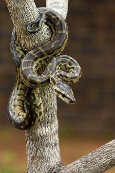 Juvenile African Rock Python - Koedoesdraai (snake).