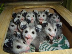 A passel of baby possums (passel is the term for a group of possums). Male & female possums are known as jacks & jills. How very cute!
