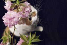 満開の八重桜をいただいたので、記念撮影を。      JUGEMテーマ:MIX猫
