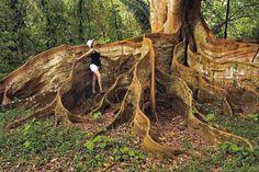 LES PLUS BEAUX ARBRES DU MONDE -  Racines énormes et très hautes sortant de terre pour cet arbre du Costa-Rica © Photo sous copyright